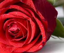 Roses for a Deerfield Inn