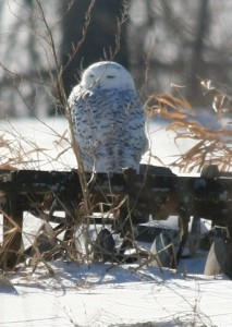 Snowy owl on Deerfield farm farrow