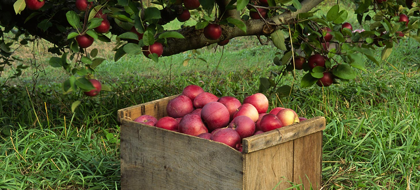 Crate of apples during apple harvest