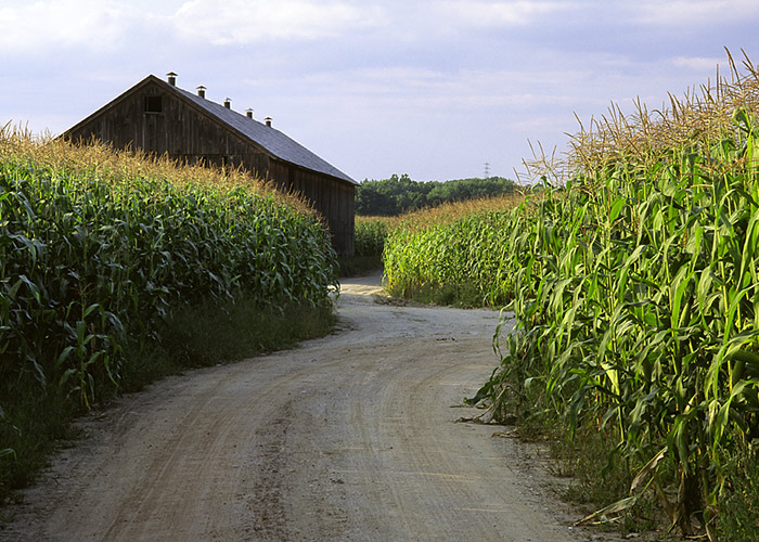 Dirt road through a corn field